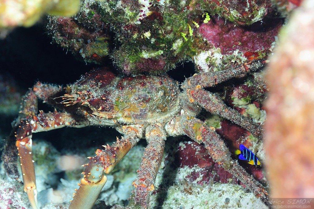 Crabe araignée chevelu