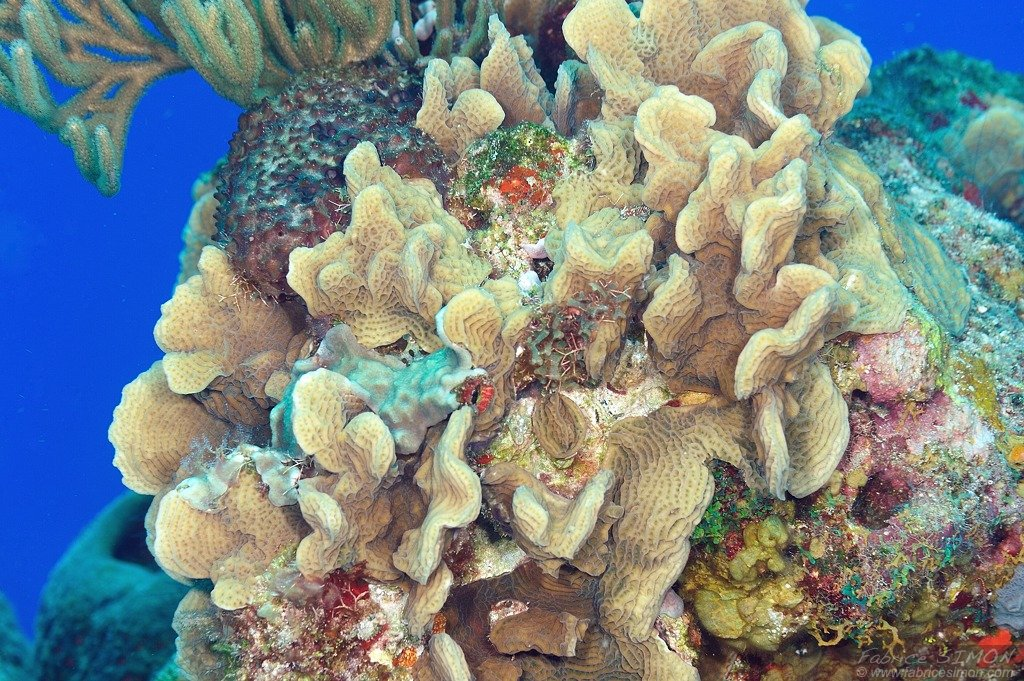 Corail feuille