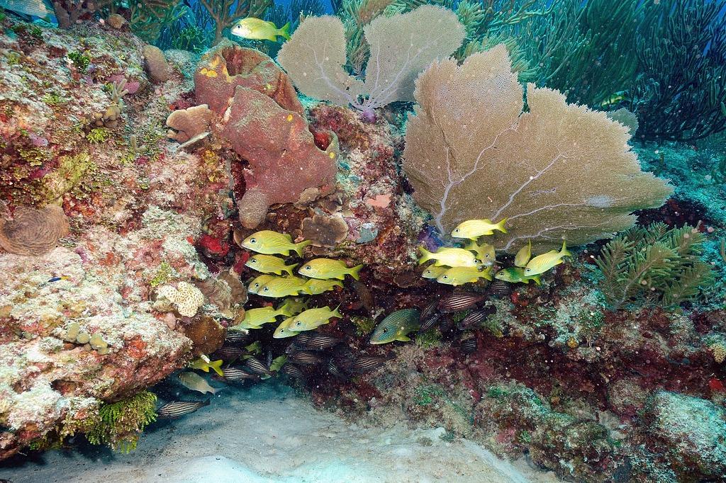 Banc de gorettes bleues, Vivaneaux gris et gorettes jaunes et éventail de mer