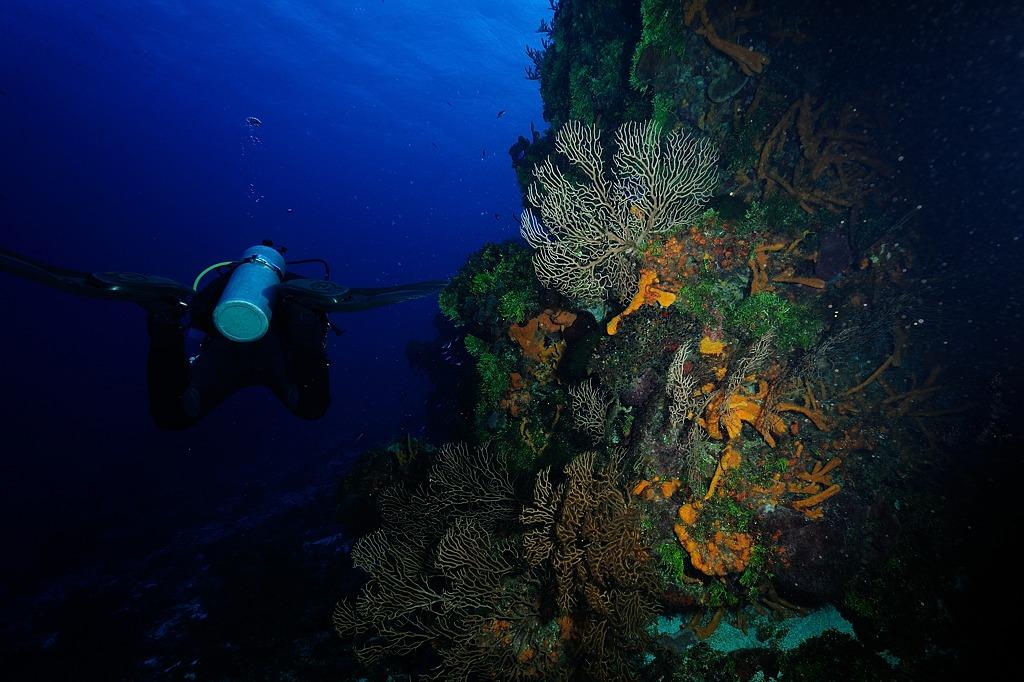 Gorgone rousse des tombants et plongeur
