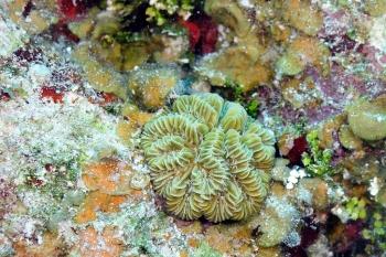 Corail à méandres ou méandrine