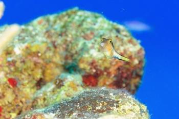 Canthigaster des caraïbes