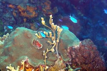 Chromis bleu ou castagnole bleue