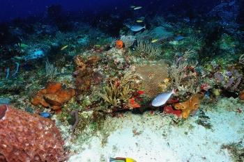 Baliste des sargasses sur la barrière de corail