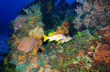 Sarde jaune