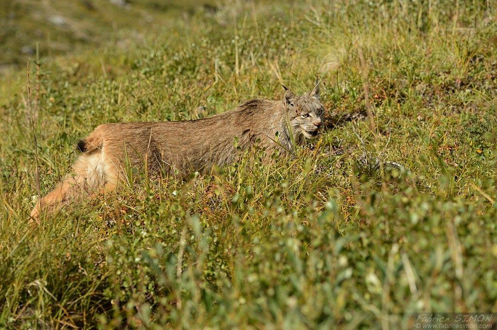 Lynx à Denali