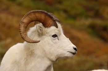 Mouflon de Dall