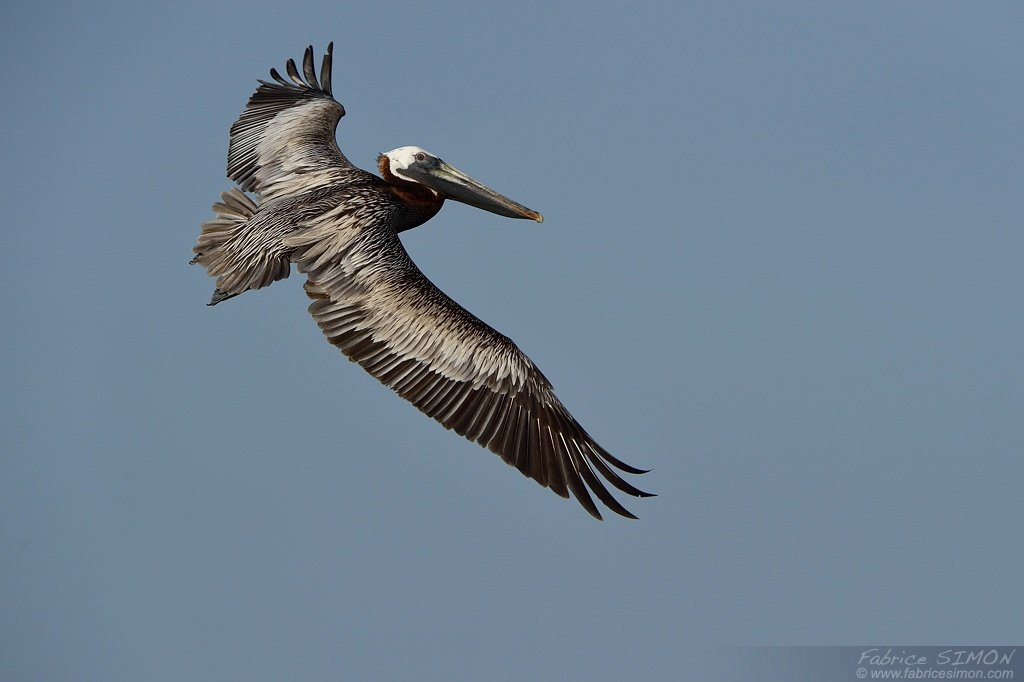Pélican brun en vol