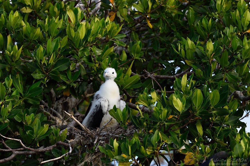 Frégate superbe, jeune au nid
