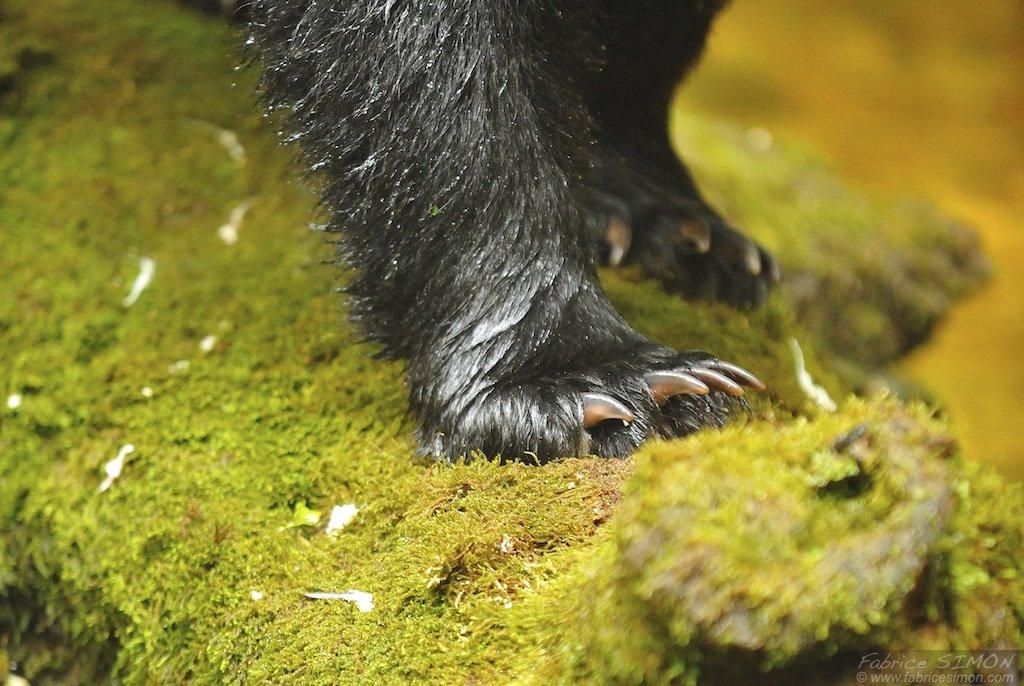 Patte d'ours noir