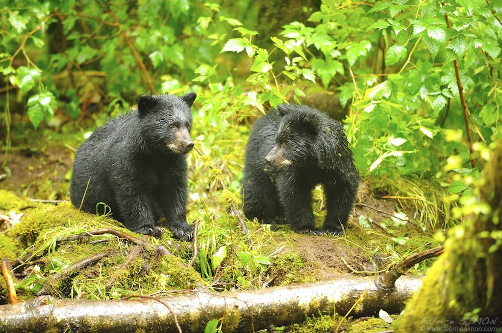 Ourson noir en attente dans la forêt pluvieuse de Colombie Britannique