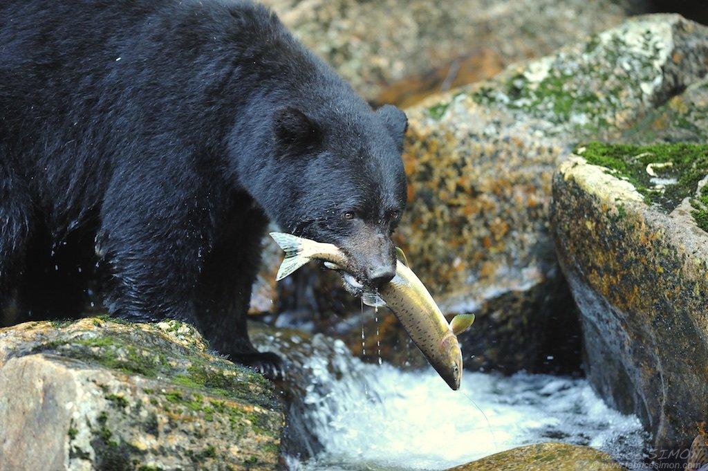 Ours noir à la pêche dans la forêt pluvieuse de Colombie Britannique