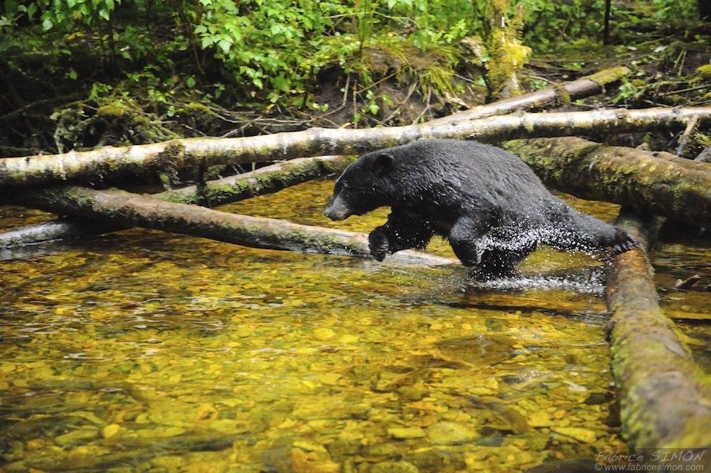 Ours noir saute d'un tronc dans la rivière