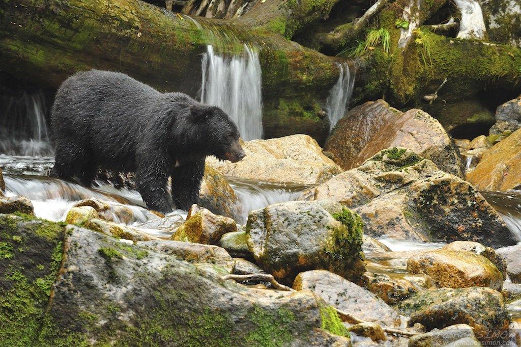 Mâle ours noir