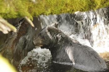 Ours noir sous une chute d'eau dans la forêt pluvieuse de Colombie Britannique