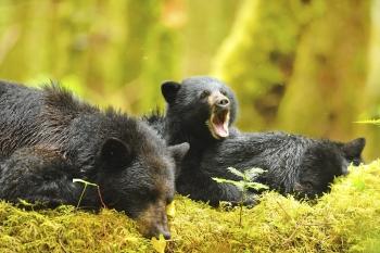 Sieste d'une femelle ours noir avec ses 2 oursons