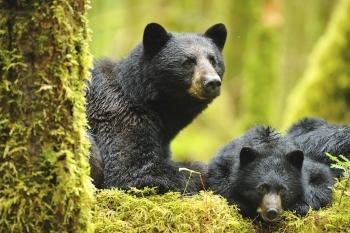 Réveil d'une femelle ours noir avec ses 2 oursons