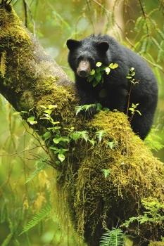 Ourson noir en attente sur un arbre de la forêt pluvieuse de Colombie Britannique