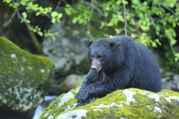 Ours noir couché sur un rocher dans la forêt pluvieuse de Colombie Britannique