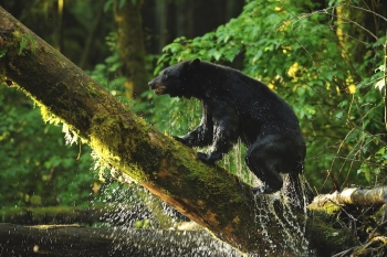 Ours noir dans la forêt pluvieuse de Colombie Britannique