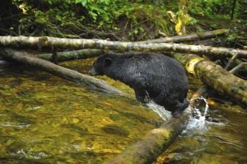 Ours noir dans la rivière