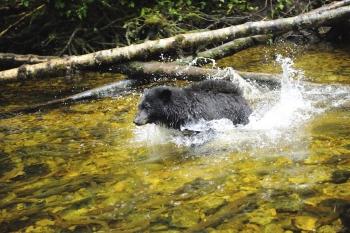 Ours noir plongeant dans la rivière