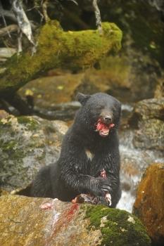 Ours noir mangeant un saumon dans la forêt pluvieuse de Colombie Britannique
