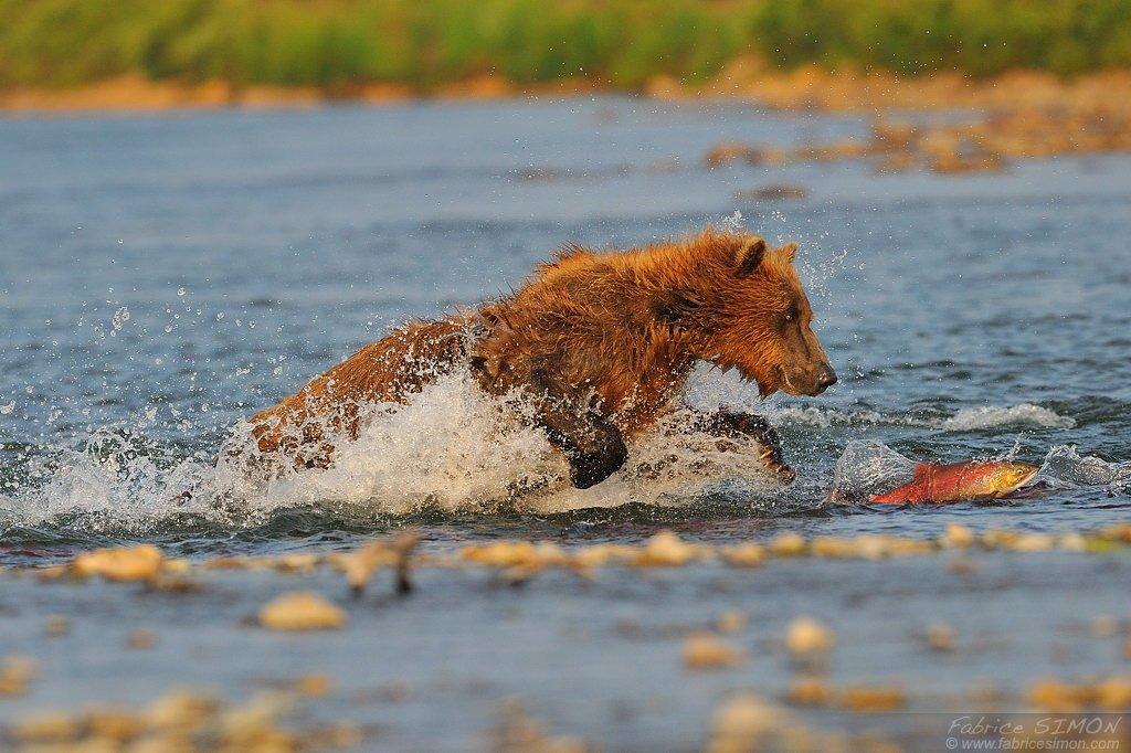 Grizzli adulte court pour attraper un saumon sockeye