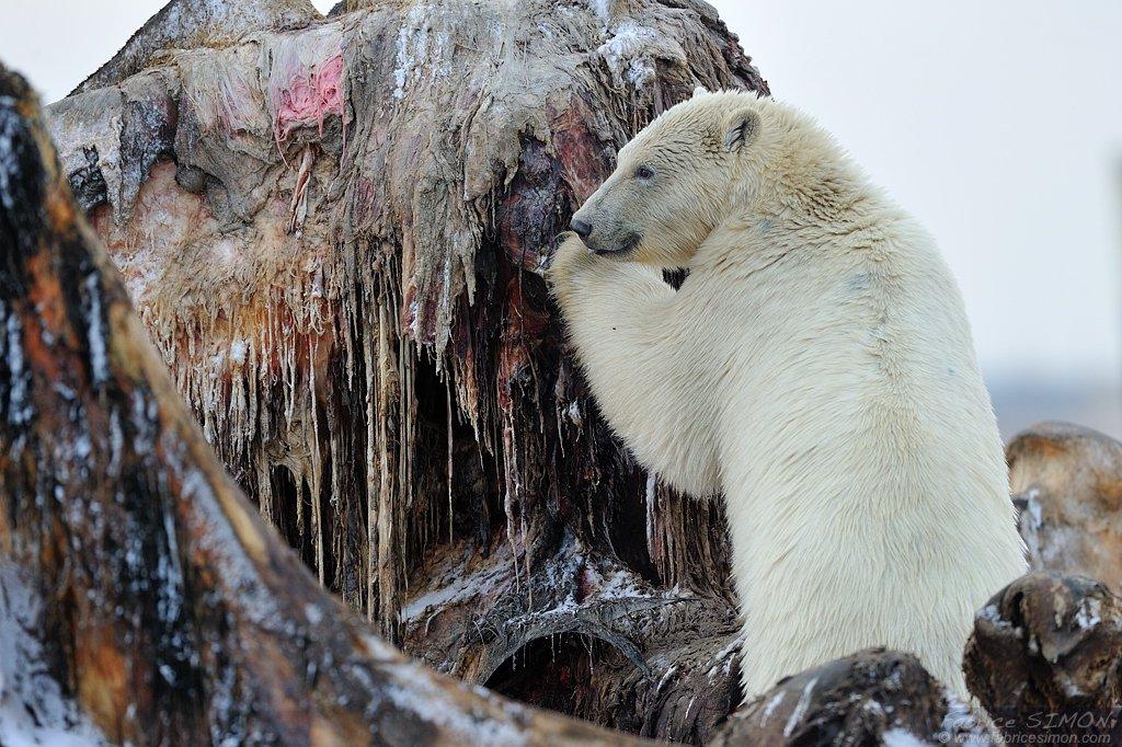 Ours polaire-Arctic National refuge-Alaska-Hiver 2011