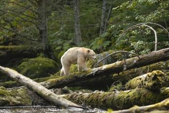 Ours kermode marchant sur un tronc dans une rivière de la forêt pluvieuse de Colombie britannique