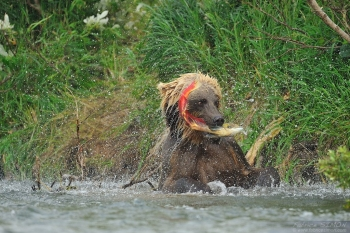 Grizzli adulte attrappe un saumon sockeye