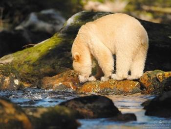 Ours kermode cherche les poissons dans une rivière de la forêt pluvieuse