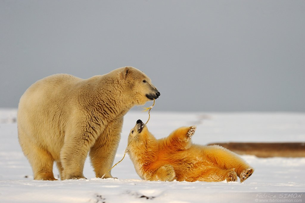 Ours polaire-Arctic National refuge-Alaska-Hiver 2011