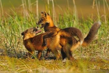 Jeunes renards roux