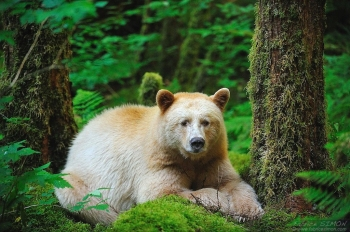 Ours kermode couché dans la forêt pluvieuse de Colombie britannique