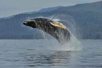 Baleine à bosse, breach