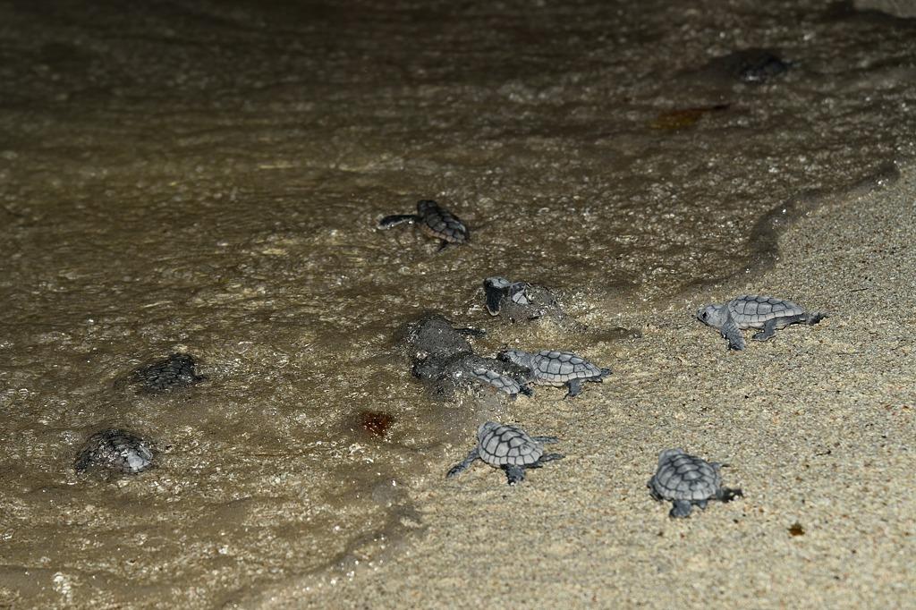 Naissance de tortue imbriquée