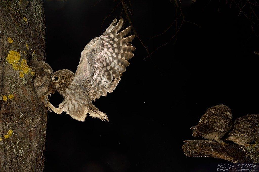 Juvénile et campagnol en vol à l'atterrissage