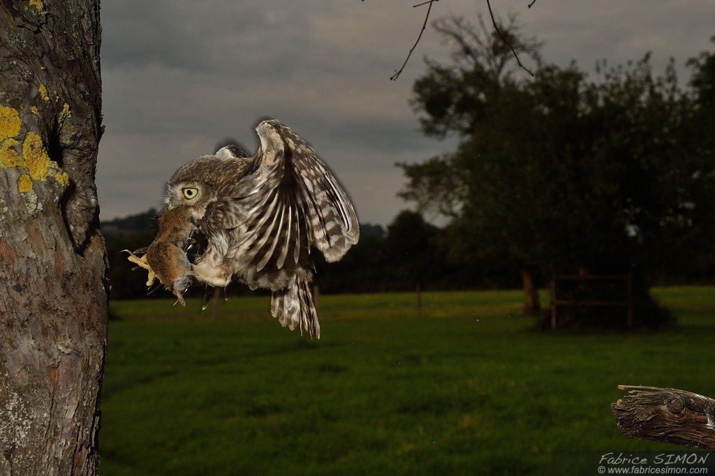 Jeune en vol avec un campagnol de jour