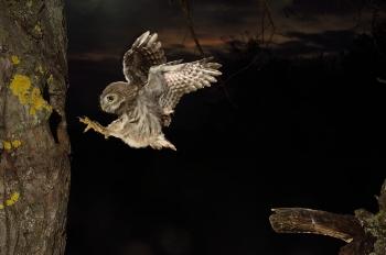 Jeune en vol au levé du jour