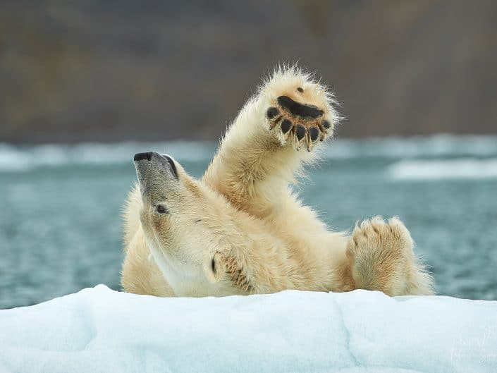 Ours polaire - Ursus maritimus - Archipel du Svalbard
